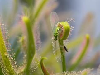 Chrysopidae1