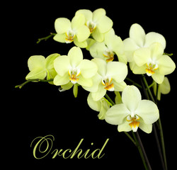 group of yellow orchids