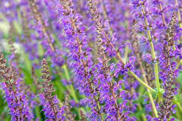 Salvia officinalis flowers
