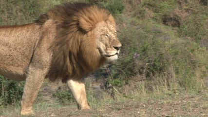 Close up of the manes of a big lion blowing in the wind