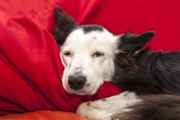 Border Collie addormentato