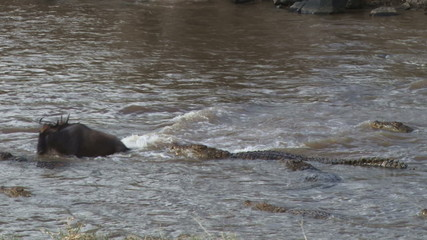 A crocodile tries to hunt a wildebeest crossing the mara river