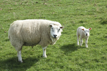 sheep and lamb looking at me!