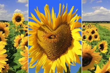 Triple - Sonnenblumen
