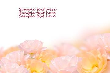 Close up rose flower isolated on white background.
