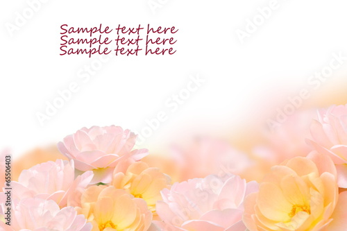 Close up rose flower isolated on white background.