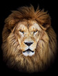 Portrait of huge beautiful male African lion against black backg