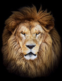 Fototapety Portrait of huge beautiful male African lion against black backg