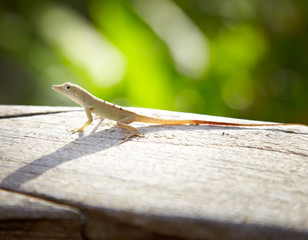Close-up of a lizard, Jamaica
