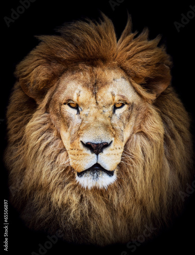 Poster Portrait of huge beautiful male African lion against black backg