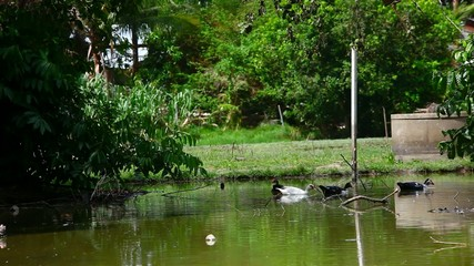 Black and white ducks swimming in pond