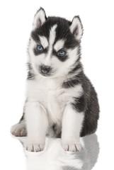 puppy Portrait - Husky