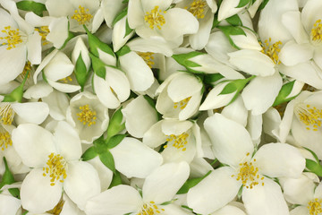 White jasmine flowers abstract background