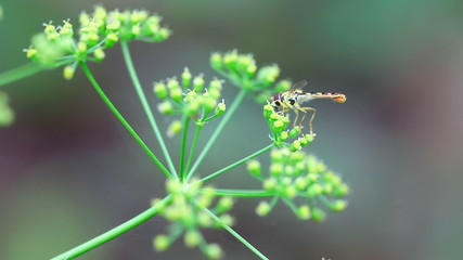 Tiny dragonfly collecting nectar from a fennel flower. Close-up.