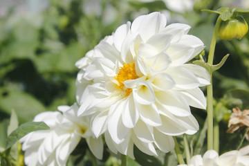 White Dahlia flower