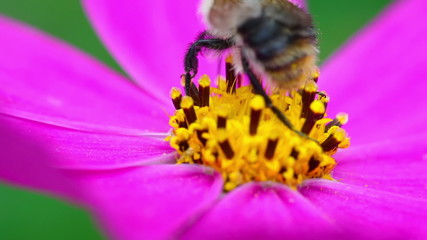 A bee collecting nectar from pink flower. close-up.