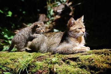 Wildcat 7