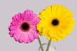 Pink and yellow gerbera on grey background.