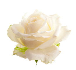 Flower white roses. Isolated