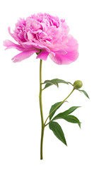 Peony flower isolated on a white background.