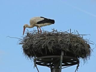 Weißstorch (Ciconia ciconia) auf dem Nest