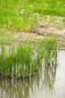 Beautiful green grass in water