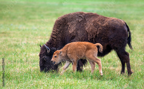 In de dag Bison Buffalo cow and a calf