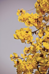 goled tree flower (yellow pui)