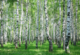 Spring birch forest with fresh greens