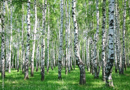 Fototapeta Wiosna brzozowy las z śwież