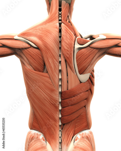 Muscular Anatomy of the Back - 65535230