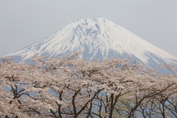 mountain fuji and sakura