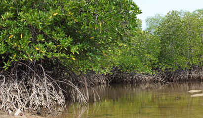 tropical landscape of mangrove forest from south of thailand