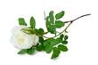 White dog-rose