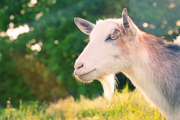 domestic goat on a background of nature
