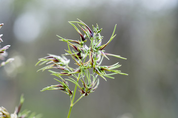 Flowers of bulbous bluegrass, Poa bulbosa