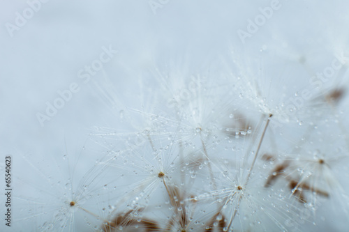 Dandelion seed © Alik Mulikov