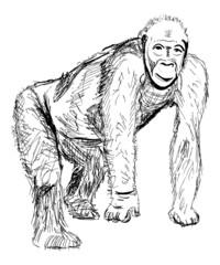 ape sketch isolated on white