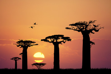 baobab silhouette at sunset