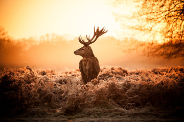 Red Deer w rano słońce.