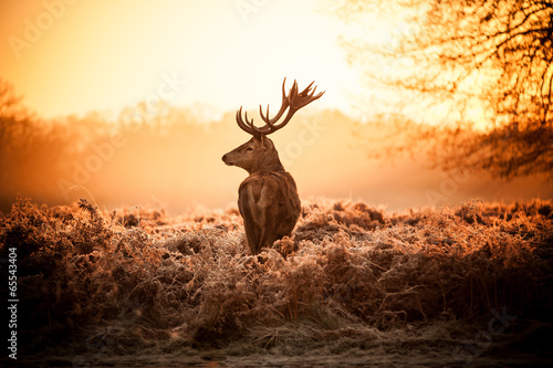 Red Deer in Morning Sun. - 65543404