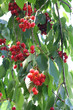 Obrazy na płótnie, fototapety, zdjęcia, fotoobrazy drukowane : ciliegie rosse su rami_ albero