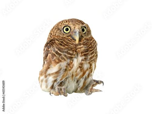owl of white background