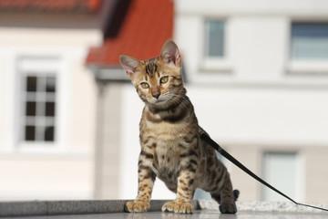 Kleine angeleinte Bengalkatze beim Spaziergang