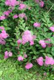 spirea_ cespuglio dai fiori rosa poster
