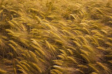 Ripening wheat field