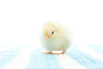 yellow chick on a blue bedspread