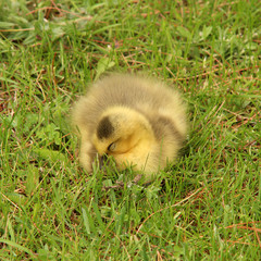 Baby Canada goose sleeping  in the grass