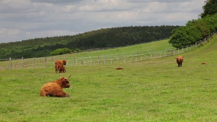 The herd of aberdeen angus eating grass on spring meadow