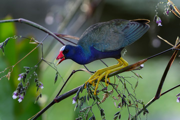 purple gallinule, wacodahatchee wetlands